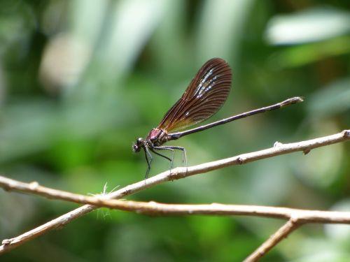 dragonfly damselfly calopteryx virgo