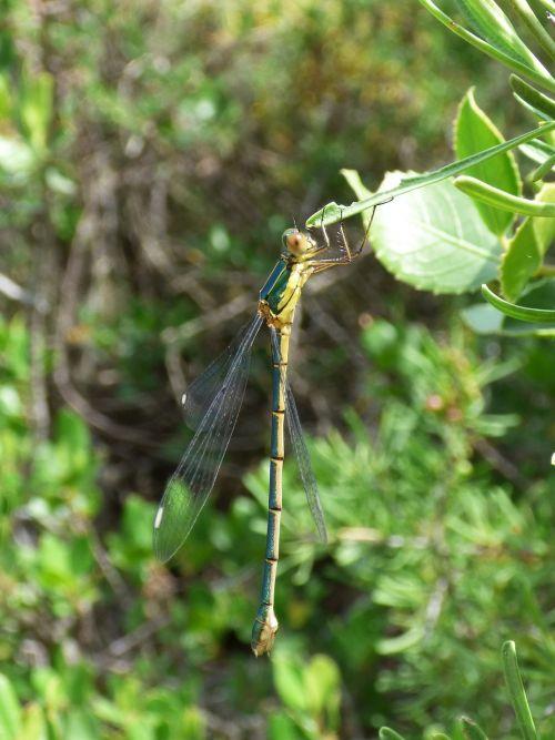dragonfly damselfly green dragonfly
