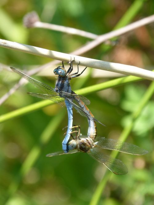 dragonfly blue dragonfly couple