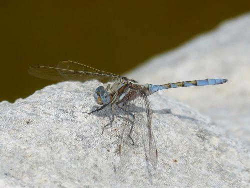 dragonfly blue dragonfly rock
