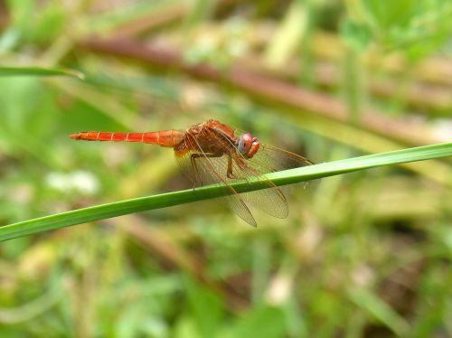 dragonfly erythraea crocothemis greenery