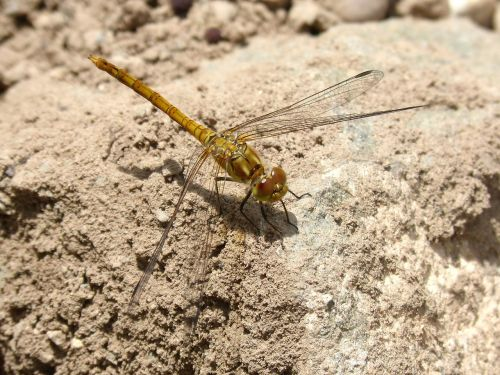 dragonfly yellow dragonfly rock