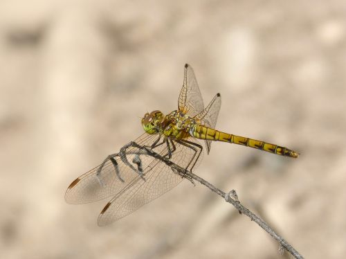 dragonfly yellow dragonfly branch