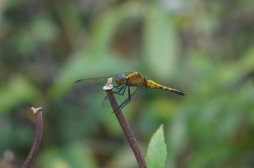 dragonfly anisoptera yellow