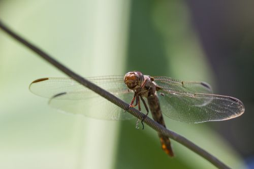 dragonfly insect nature