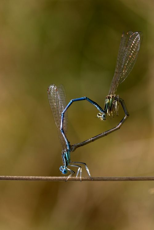 dragonfly reproduction insecta