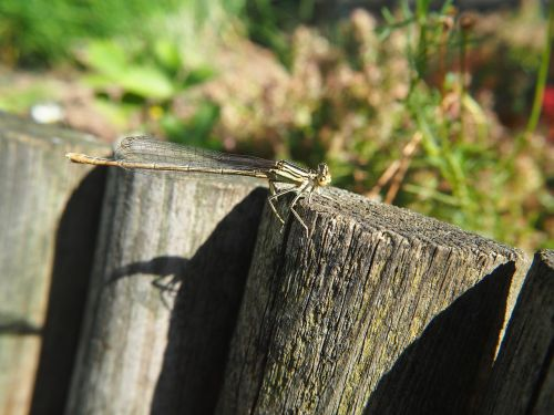 dragonfly garden insect