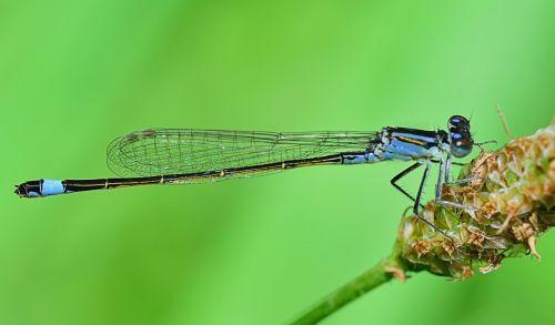 lazda,vabzdys,skraidantys vabzdžiai,sparnai,libelulido,libellulidae,skraidantis vabzdys,grožis,mėlyna lazdele,gamta,filialas,vanduo,upė,Tyras vanduo,kraštovaizdis,natūralus vanduo,kristalinis,skaidrus vanduo,šaltinis,burbuliukai,užtvankos,aiškumas,upelis,skaidrus vanduo,Grynumas,reaktyvinis,gėlas vanduo,kristalinis vanduo,jūra,srautas