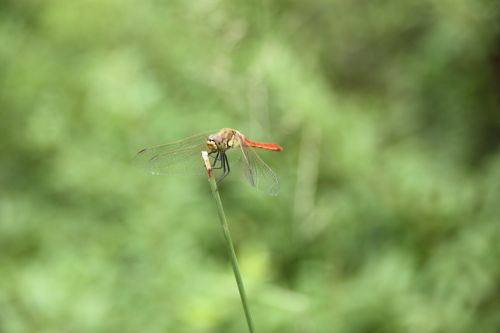 dragonfly insects animal