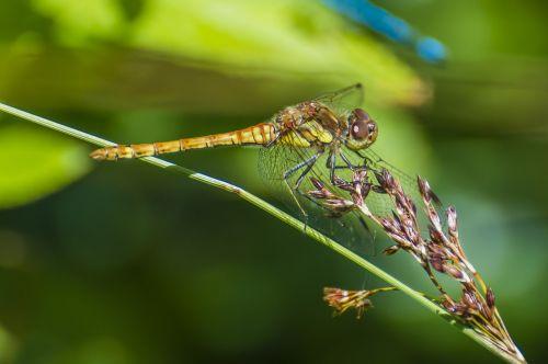 dragonfly odonata wildlife