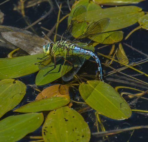 dragonfly emperor wildlife