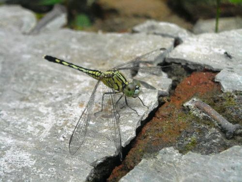 dragonfly green hiitam
