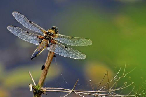 dragonfly 4 spot chaser odonata