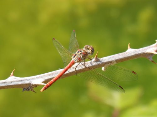 dragonfly red dragonfly sympetrum sinaiticum