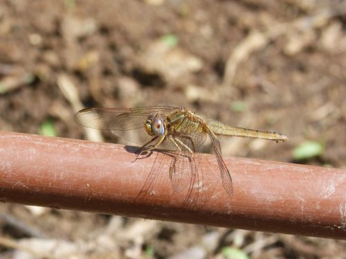 dragonfly irrigation pipe yellow dragonfly