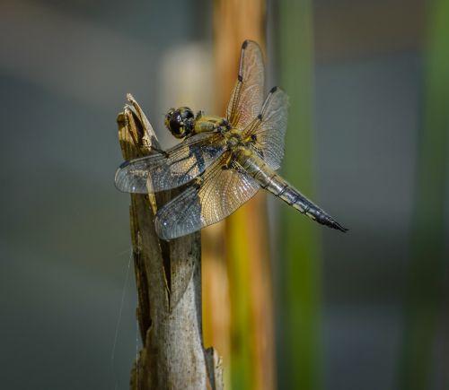 dragonfly odonata fauna