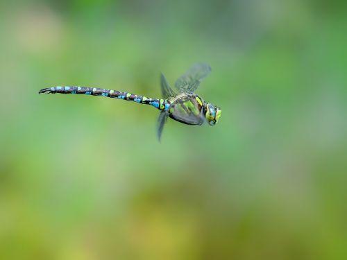 dragonfly hawker blue green