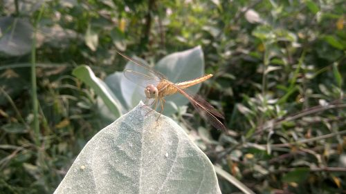 dragonfly insect arthropoda