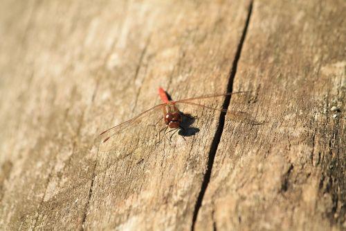 dragonfly animal wood
