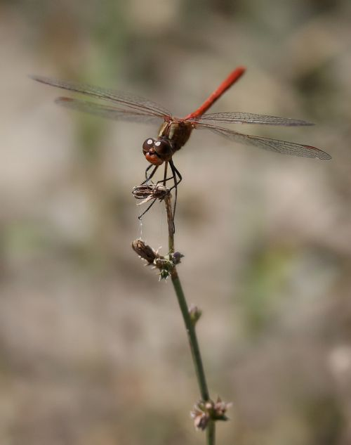 dragonfly red wings