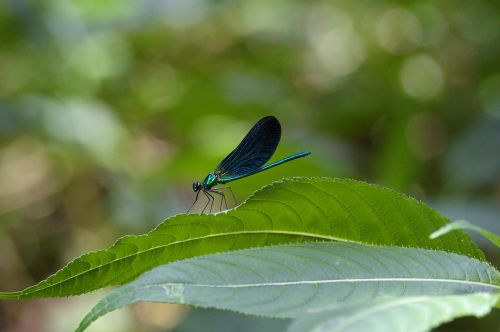 dragonfly blue insect