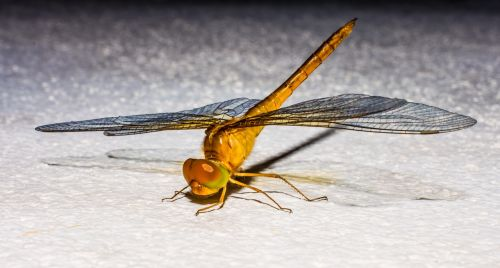 dragonfly,insect,animal,close,wing,chitin