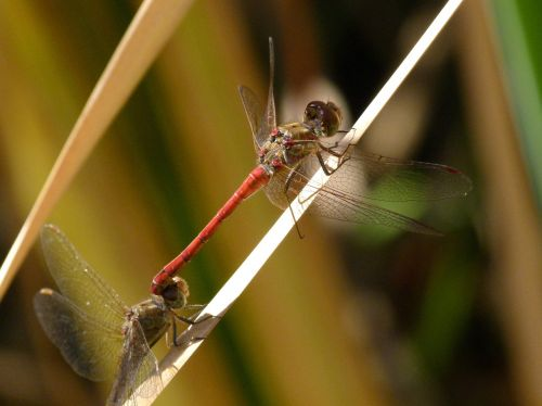 dragonfly red dragonfly dragonflies mating