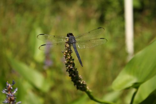 dragonfly nature wetland