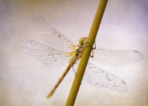 dragonfly darter sympetrum insect