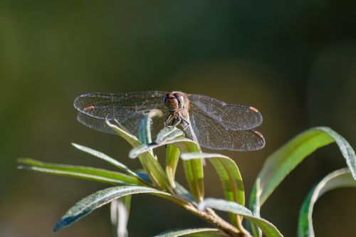 dragonfly insect close