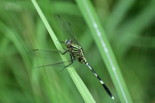 dragonfly insect predatory insect