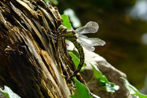 dragonfly nature insect