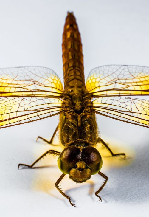dragonfly insect yellow