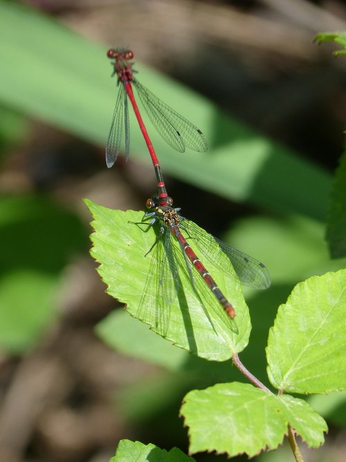dragonfly  damselfly  couple
