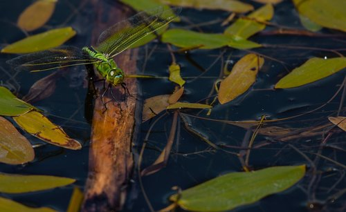 dragonfly  emperor  insect