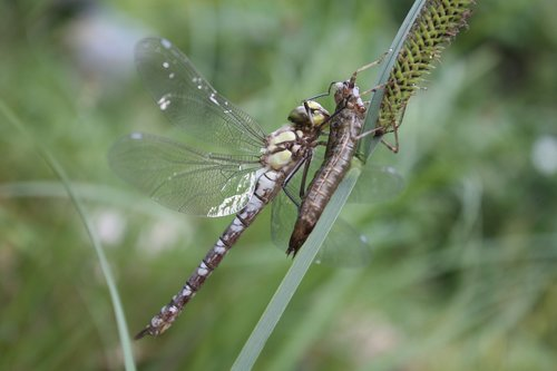 dragonfly  insect  dragonflies