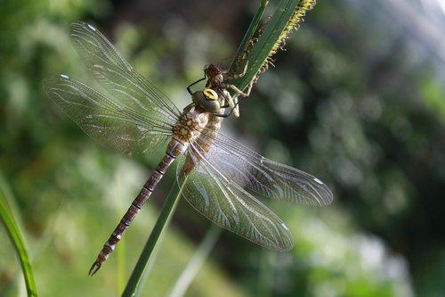 dragonfly  dragonflies  aeshna