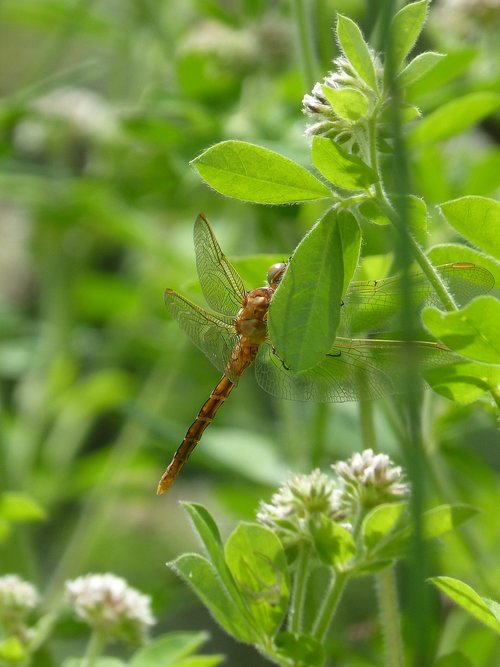 dragonfly  dragonfly amrilla  leaf