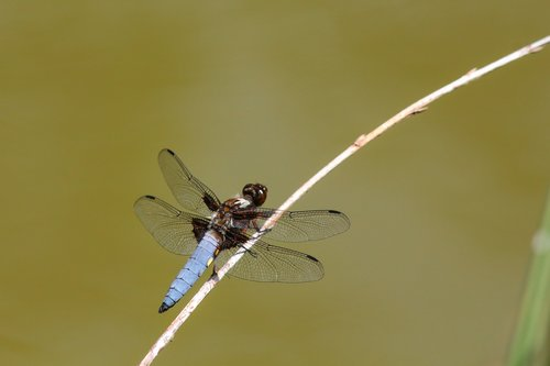 dragonfly  flat belly dragonfly  insect