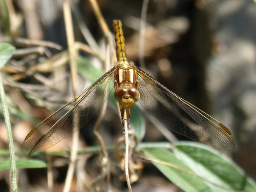 dragonfly  winged insect  orthetrum chrysostigma