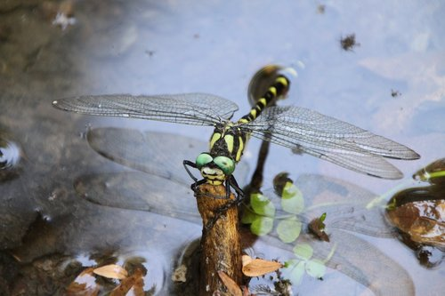 dragonfly  insect  pond