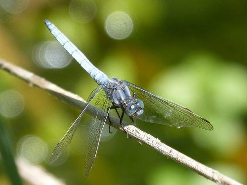 dragonfly  blue dragonfly  orthetrum brunneum