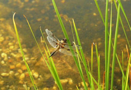 lazda,tvenkinys,vabzdys,skrydžio vabzdys,sparnas,bankas,vanduo,žolė