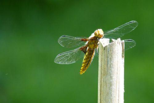 dragonfly sailing dragonfly plattbauch
