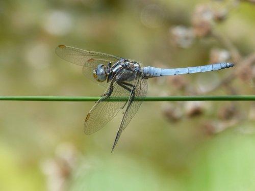 dragonfly  orthetrum brunneum  blue dragonfly