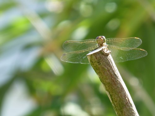 dragonfly  water maid  insect