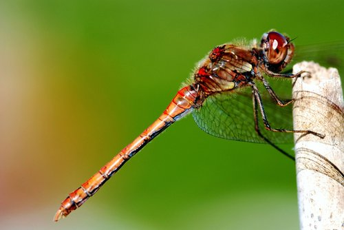 dragonfly  insect  resting posture