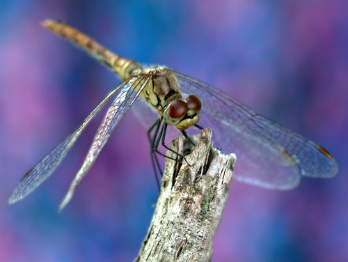dragonfly  insecta  rest