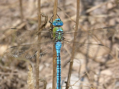 dragonfly  dragonfly large  blue dragonfly