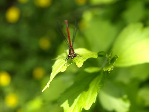 dragonfly red insect